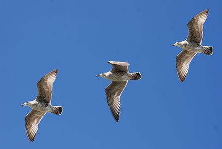 Linnut, sulka, lento, Flying, Luonto, taivas, siivet