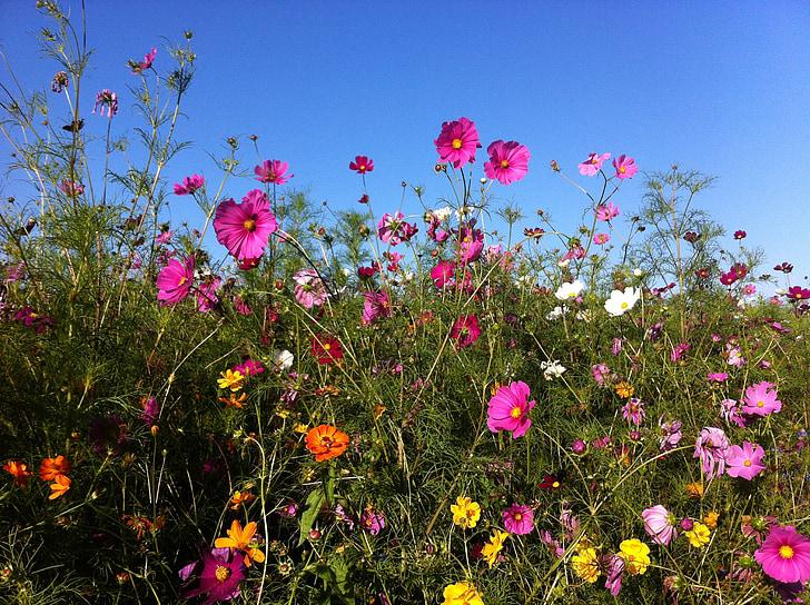bunga, musim panas, bunga musim panas, Cosmos