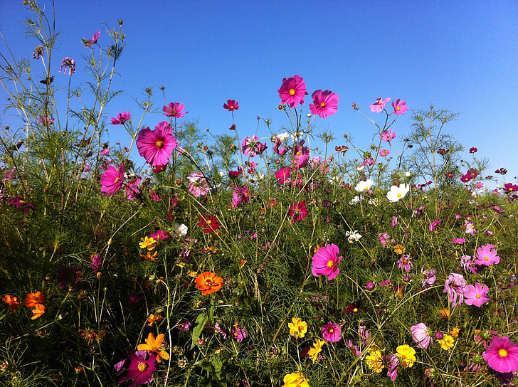 flowers, summer, summer flowers, cosmos