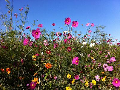 flors, l'estiu, flors d'estiu, cosmos