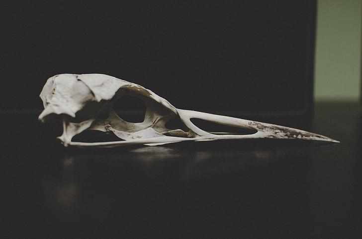 OS, morts, romanent, blanc, crani d'animals, ossos d'animals, esquelet humà