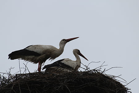 щъркели, птици, лети, птица двойка, гнездо, птица, природата