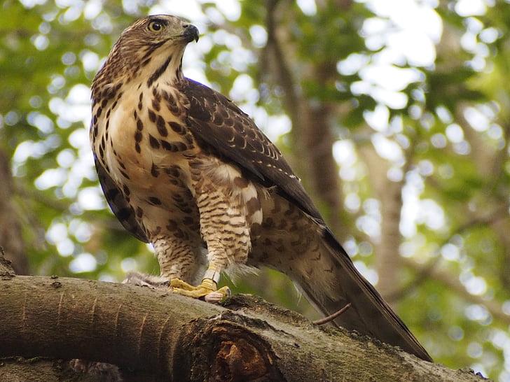 Töyhtötiainen, Kanahaukka, Raptor