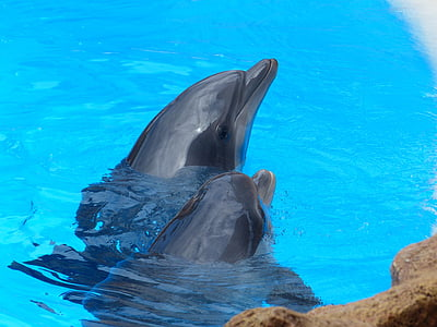 Dofí mular, Tursiops truncatus, dofins, animals, meeresbewohner, Delphinidae, dents