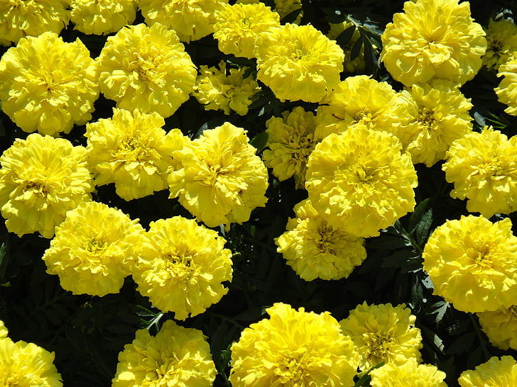 Calèndula, gran, flors