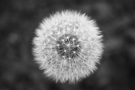 fekete-fehér, közeli kép:, kiadványról, pitypang, virág, minimális, növény