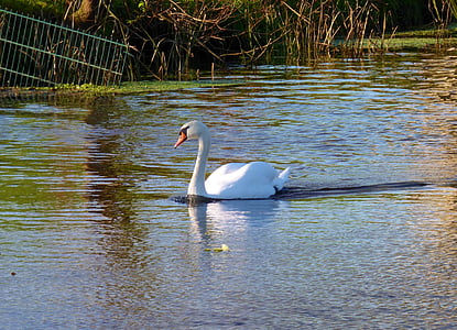 swan, bird, waterfowl, animals, nature, swimming, gracefully