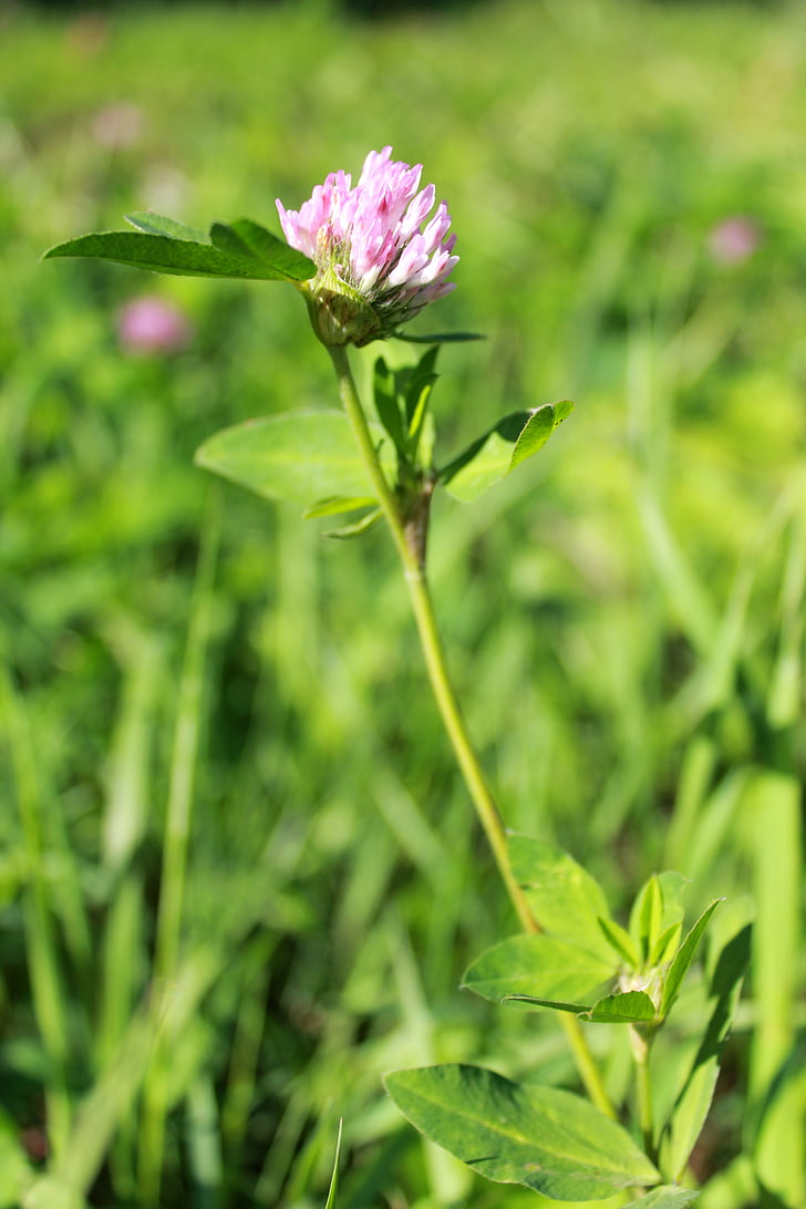 Free Photo Clover Purple Flower Summer Grass Greens Flower