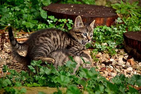 猫, 子猫, ネコ科の動物, ネコ科の動物, 動物, 動物, 猫