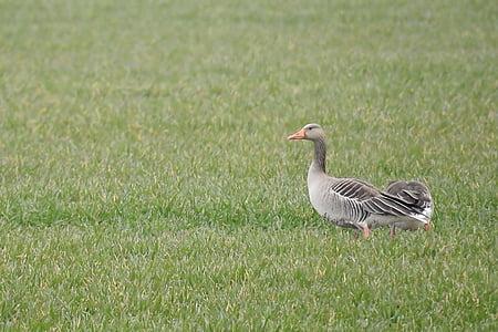 сива гъска, гъска, вода птица, мигриращи птици, дивата гъска, птица, природата