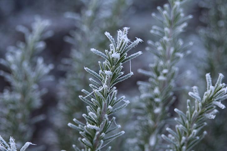 rozmaring, fagy, érett, téli, Dér, hideg, fagyasztott