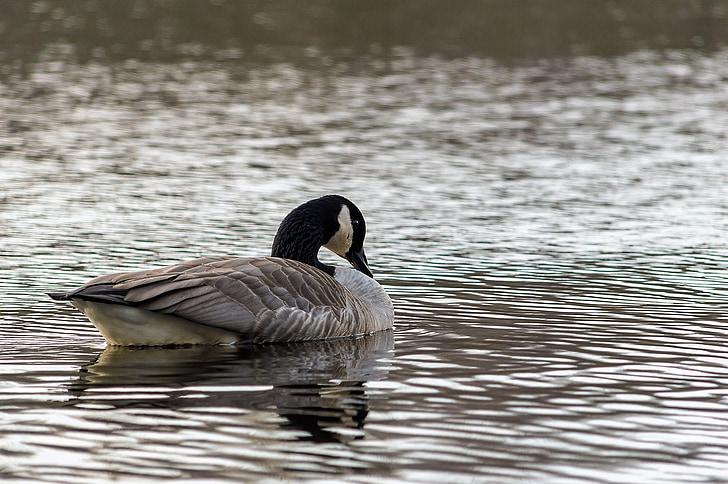 goose, wild goose, bird, nature, water bird, geese, wild geese