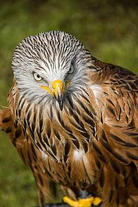 lintu, Predator, eläinten, petolintu, Hawk - lintu, lihansyöjä, Luonto