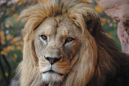 lion, wild animal, zoo, wild, predator, animals, lion - Feline