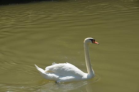 animal, swan, white