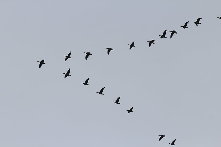 žąsys, Migruojantys paukščiai, spiečius, formavimas, laukinių žąsų