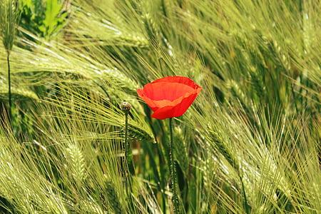 poppy, cornfield, cereals, field, red poppy, klatschmohn, field of poppies