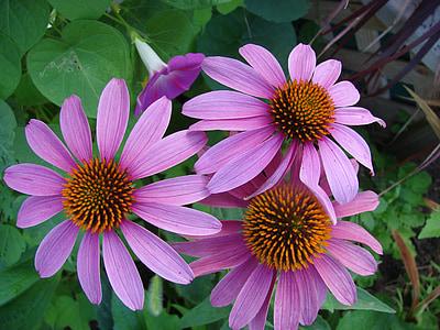 Echinacea, coneflower, flor, jardí, planta, natura, botànic