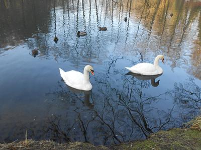 swan, swans, water bird, bird, nature, lake, animal