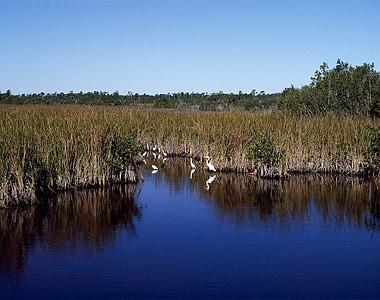 Everglades, vann, dyreliv, egrets, fugler, vannfugler, landskapet