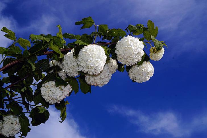 prachtspiere, Spiraea vanhouttei, blanc, spierstrauch, principi d'estiu, flors