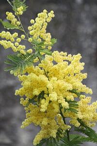 Mimosa, lill, tehase, kollane, Lõuna-Prantsusmaal, Aed