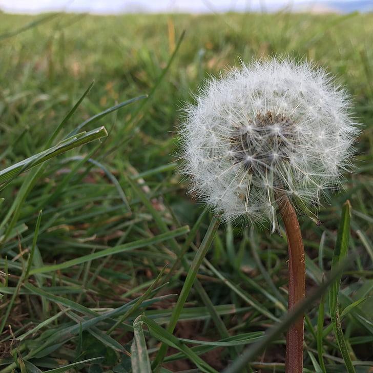 flauschige Samen, Blume, flauschige, Anlage, Samen, Grass