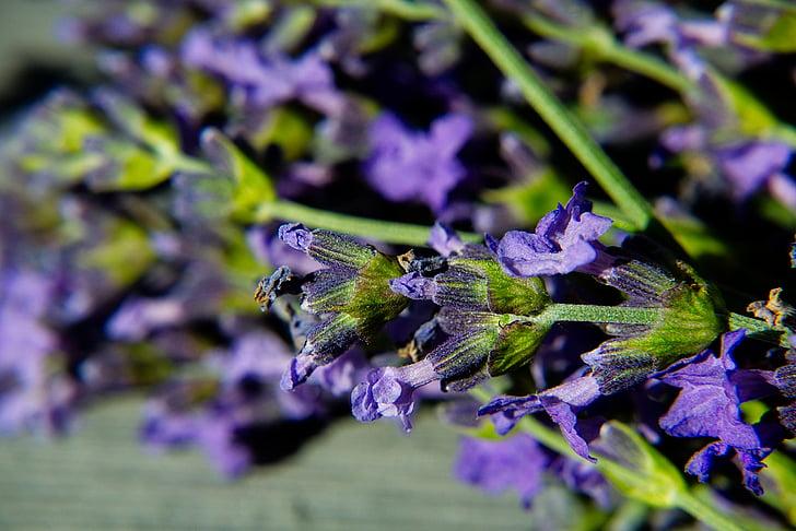 Levanda, makro, žiedų, žydėti, violetinė, sodas, Gamta