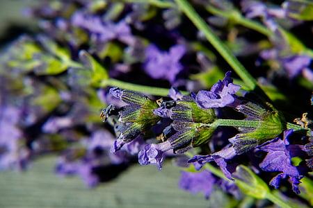 levendula, makró, Blossom, Bloom, lila, kert, természet