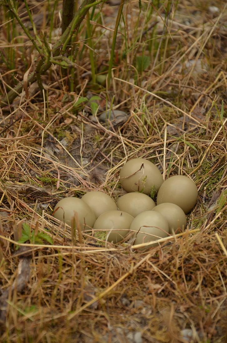 làm tổ, trứng gia cầm, tổ chim, quả trứng gà, gà lôi 's nest, quả trứng