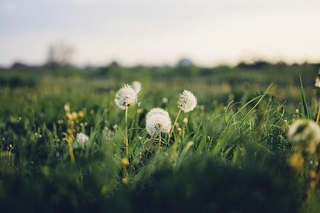 blomst, hvid, PETAL, Bloom, haven, plante, natur