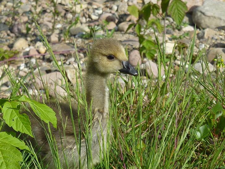雛, 野生のガチョウ, カナダのガチョウ, 鳥, 自然, 動物, 野生動物