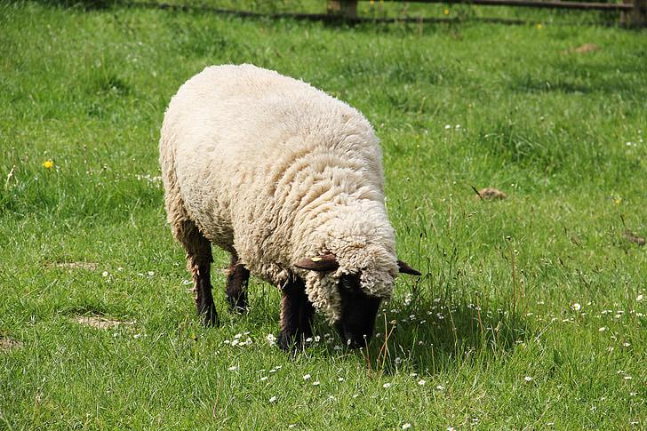 Westfalenin musta pää lampaat, Kevät meadow, voi, kevään, niitty, Luonto, villaa