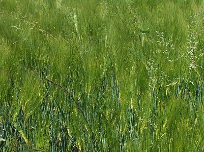 cereals, espiga, camp de blat, cultius de camp