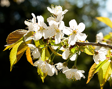 blossom, bloom, cherry, spring, cherry blossom, white blossom, fruit tree