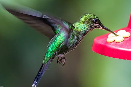 Colibrì, uccello, ala, volare, esotici, verde, flutter