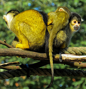 ape, capuchins, cute, young, young animal, bear