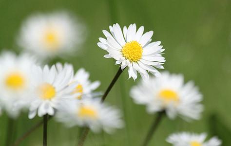 daisy, flowers, nature, flower, plant, color, close