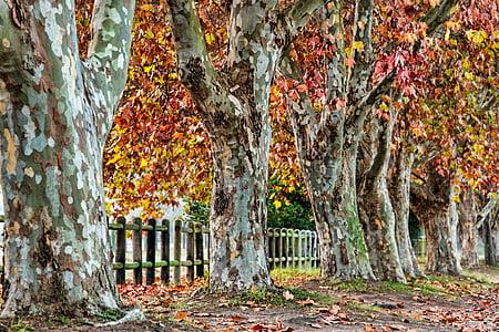 Πλάτανος, το φθινόπωρο, φύλλα, πτώση, σεζόν, φύση, Πλάτανος