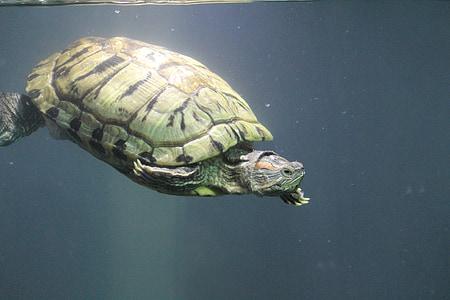 черепаха, черепаха, воды, Аквариум, глубокое, Подводный, мне?