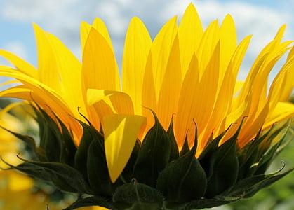Ayçiçeği, çiçek, Sarı, büyüme, bitki, Petal, doğa
