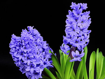 hyacinth, flower, blossom, bloom, spring, nature, plant