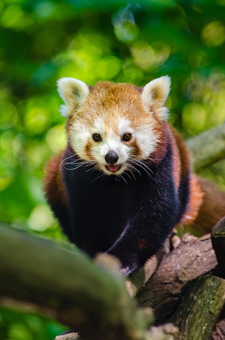 動物, 支店, かわいい, レッサー パンダ, ツリー, 野生動物, 1 つの動物