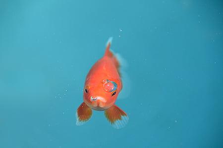 riba, Zlatna ribica, Crveni, mjehurić, pod vodom, životinja, Kućni ljubimci