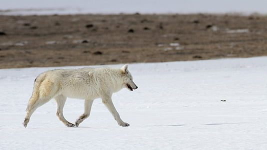 wolf, canine, snow, winter, cold, mammal, nature