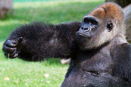 animals, natura, mico, goril·la, primats, zoològic
