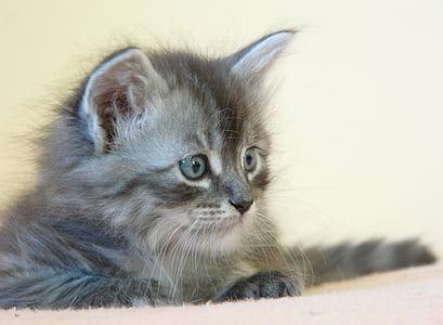 cat, small, silver