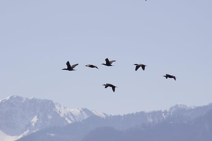 Linnut, maahanmuutto, lentää, taivas, vuoret, Luonto