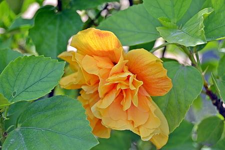lill, kollane, oranž, kroonleht, lilled, loodus, kevadel