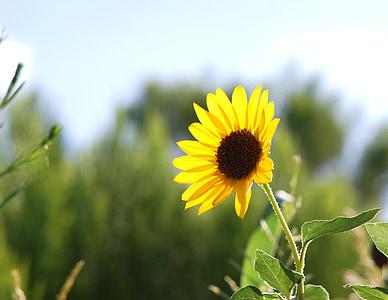 looduslike, päevalill, päevalilled, suvel, lilled, taimed, päevalille välja